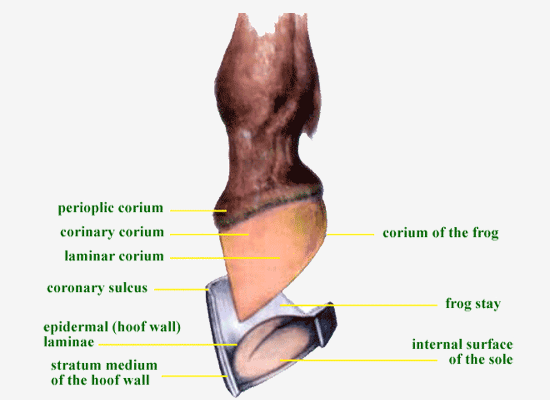 The Anatomy and Physiology of the Hoof - Australia - Life Data Labs